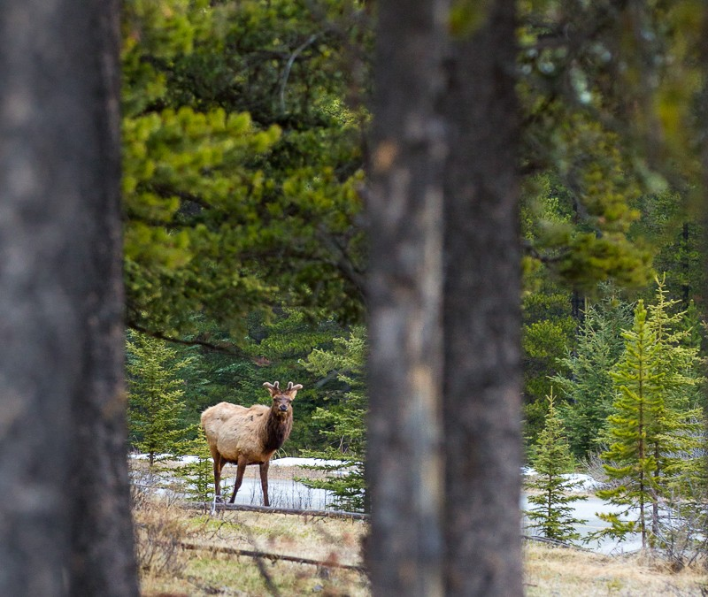 Elk Through the Pines